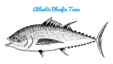 River and lake fish. Atlantic bluefin tuna. Sea creatures. Freshwater aquarium. Seafood for the menu. Engraved hand drawn in old vintage sketch. Vector illustration. Symbols of the ocean.