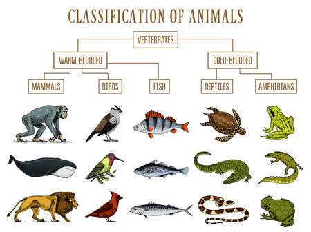 Classification of Animals. Reptiles amphibians mammals birds. Crocodile Fish Lion Whale Snake Frog. Education diagram of biology. Engraved hand drawn old vintage sketch. Chart of Wild creatures.