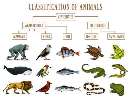 Klassifizierung von Tieren. Reptilien Amphibien Säugetiere Vögel. Krokodilfisch Löwenwal Schlangenfrosch. Bildungsdiagramm der Biologie. Gravierte handgezeichnete alte Weinlese-Skizze. Diagramm der wilden Kreaturen.