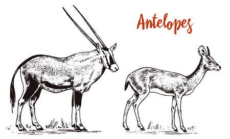 African wild antelope, deer or doe. Orix gemsbok and dik-dik. An animal in a safari. Vintage Mammal, Engraved hand drawn old monochrome sketch for label.