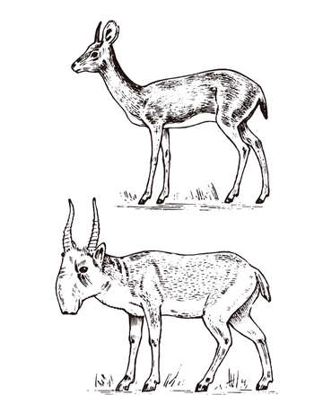 African wild antelope, deer or doe. Saiga and dik-dik. An animal in a safari. Vintage Mammal, Engraved hand drawn old monochrome sketch for label.