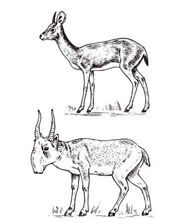 African wild antelope, deer or doe. Saiga and dik-dik. An animal in a safari. Vintage Mammal, Engraved hand drawn old monochrome sketch for label.