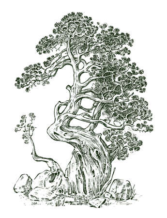 Pine tree or Evergreen Juniper, Cypress isolated object.Engraved hand drawn in old vintage sketch. tropical plant