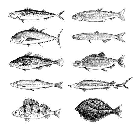 Poisson de rivière. Perche ou bar, fruits de mer pour le menu. Scomber ou maquereau, béluga et esturgeon, lac. Créatures de la mer. Aquarium d'eau douce. Gravé à la main dessiné dans le vieux croquis vintage. Illustration vectorielle.