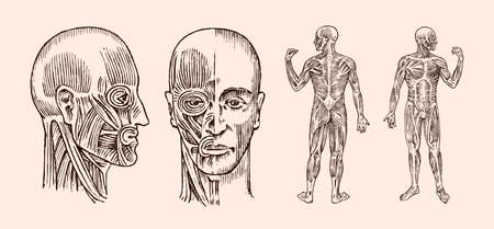 Human anatomy. Muscular and bone system of the head. Medical Vector illustration for science, medicine and biology. Male face Engraved hand drawn old monochrome Vintage sketch. Front and Profile view Banque d'images - 112010773