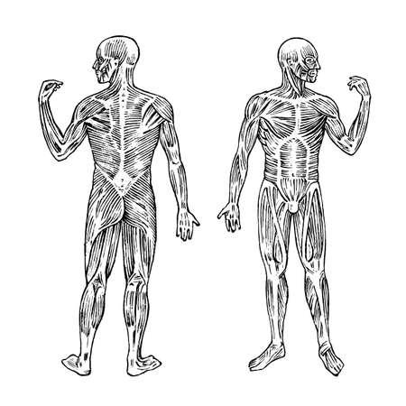 Anatomía humana. Sistema muscular y óseo. Ilustración de vector de cuerpo masculino para ciencia, medicina y biología. Musculatura grabado dibujado a mano antiguo monocromo Vintage sketch. Vista anterior y posterior