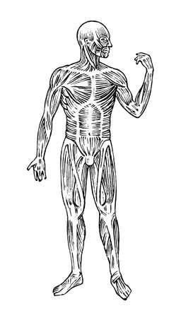 Anatomía humana. Sistema muscular y óseo. Ilustración de vector de cuerpo masculino para ciencia, medicina y biología. Musculatura y órganos Grabado dibujado a mano antiguo monocromo Vintage sketch. Vista anterior Ilustración de vector