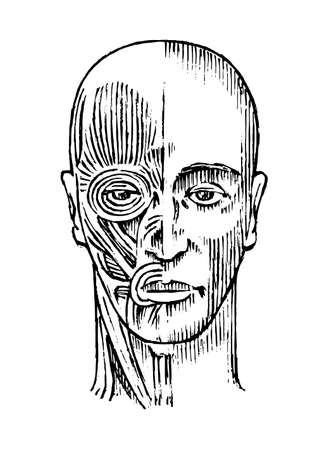 Human anatomy. Muscular and bone system of the head. Medical Vector illustration for science, medicine and biology. Male face Engraved hand drawn old monochrome Vintage sketch. Front view