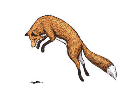 Soaring red fox. Wild forest animal jumping up. Food search concept. Vintage style. Engraved hand drawn sketch Ilustracja