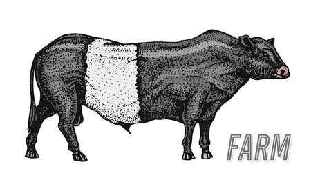 Farm cattle bull or cow. natural milk and meat. Different breeds of Farm domestic animal. Engraved hand drawn monochrome sketch. Vintage line art