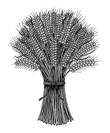 Racimo de trigo, espiguillas de centeno y semillas de maíz para hacer pan y harina. Cereales naturales, cereales integrales y avena ecológica. Dibujado a mano estilo de dibujo Vintage Doodle. Ilustración de vector