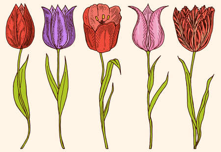 Flowers tulips with leaves. Set of Wedding botanical plant with leaf and buds. Botanical organic spring herb. Engraved hand drawn in doodle sketch. Collection for cards and labels, books and banners