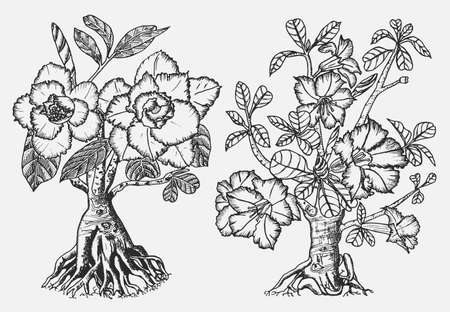 Home Adenium plants, flowering plants from Africa and the Arabian Peninsula. Exotic and tropical elements. Engraved hand drawn in old sketch and vintage doodle style