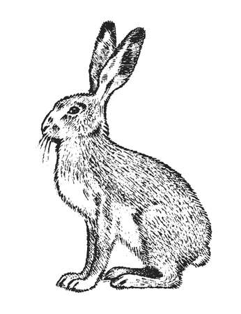 Wild Gray hare, forest animal. Vintage monochrome style. Mammal in Europe. Engraved hand drawn sketch for banner or label
