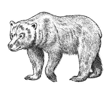 Brown grizzly bear, Wild animal. Vintage monochrome style. Engraved hand drawn sketch for banner or label. Symbol of the north and the forest