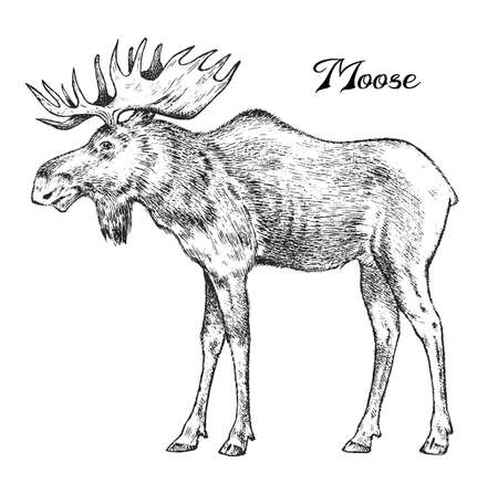 Forest Moose, Wild animal. Symbol of the north. Vintage monochrome style. Mammal in Europe. Engraved hand drawn sketch for banner or label.