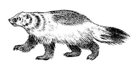 Wild Badger, forest animal. Symbol of the north. Vintage monochrome style. Mammal in Europe. Engraved hand drawn sketch for banner or label