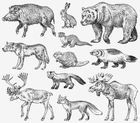 Set of Wild animals. Brown Grizzly Bear Forest Moose Red Fox North Boar Wolf Sable Badger Gray Hare Reindeer River otter. Vintage monochrome Mammal and Predator in Europe. Engraved hand drawn sketch
