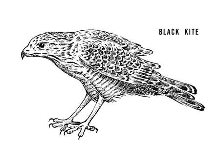 Black kite. Wild forest bird of prey. Hand drawn sketch graphic style.  Fashion patch. Print for  t-shirt, Tattoo or badges.