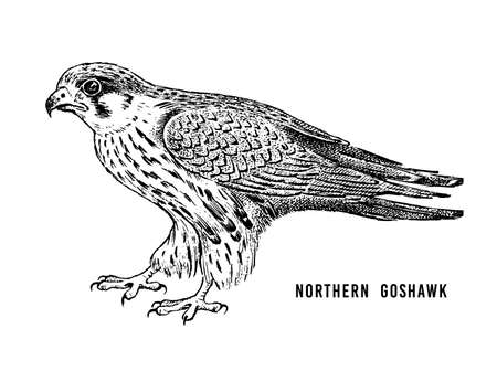 Northern goshawk. Wild forest bird of prey. Hand drawn sketch graphic style.  Fashion patch. Print for  t-shirt, Tattoo or badges.