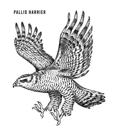 Pallid harrier. Wild forest bird of prey. Hand drawn sketch graphic style.  Fashion patch. Print for  t-shirt, Tattoo or badges.