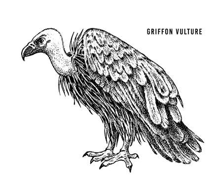 Griffon vulture. Wild forest bird of prey. Hand drawn sketch graphic style.  Fashion patch. Print for  t-shirt, Tattoo or badges.