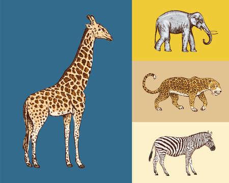 African animals. Elephant Giraffe Leopard Wild zebra. Engraved hand drawn Vintage old monochrome safari sketch. Vecteurs