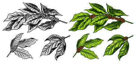 Coffee leaves in vintage style. Hand drawn engraved retro sketch for labels. Organic natural plant, template for a label or menu.