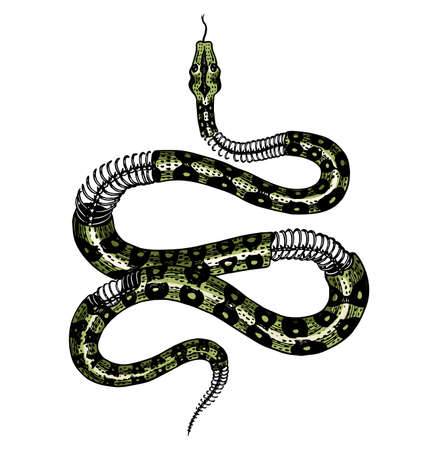 Half-skeleton of a milk snake in Vintage style. Serpent cobra or python or poisonous viper. Engraved hand drawn old reptile sketch for Tattoo, sticker or t-shirts. Archivio Fotografico - 134851771