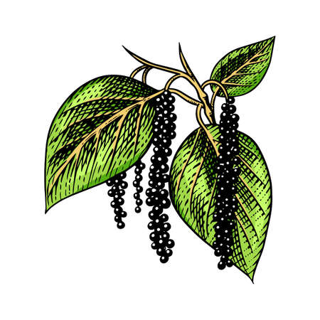 Black pepper leaves, herbs and spices. Allspice in Vintage style. Engraved hand drawn vector sketch for background