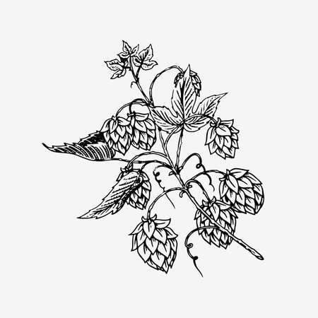 Hops plant with leaves in vintage style. Engraved monochrome sketch for banner or beer or book. Vector illustration in doodle retro style. Hand drawn outline of herb.