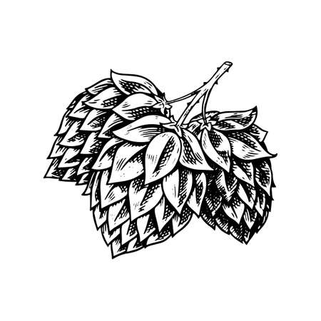 Hop plant with leaves in vintage style. Engraved monochrome sketch for banner, beer or book. Vector illustration in doodle retro style. Hand drawn outline of herb.