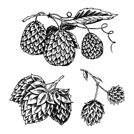 Hop plant with leaves in vintage style. Engraved monochrome sketch for banner or beer or book. Vector illustration in doodle retro style. Hand drawn outline of herb.