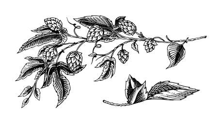 Hops plant with leaves in vintage style. Engraved monochrome sketch for banner, beer or book. Vector illustration in doodle retro style. Hand drawn outline of herb.