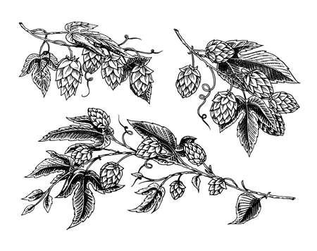Pianta di luppolo con foglie in stile vintage. Schizzo monocromatico inciso per banner, birra o libro. Illustrazione vettoriale in stile retrò doodle. Contorno disegnato a mano dell'erba.