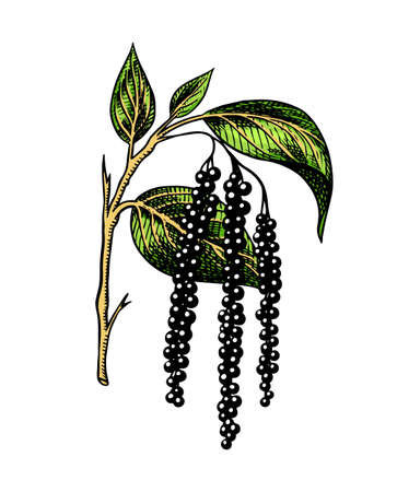 Black pepper leaves, herbs and spices. Allspice in Vintage style. Engraved hand drawn vector sketch for background.