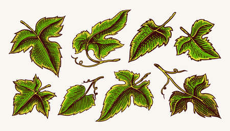 Set of grape leaves. Vineyard Plant Collection in vintage style. Hand drawn engraved outline sketch for banner, poster or label. Ingredient for wine and juice