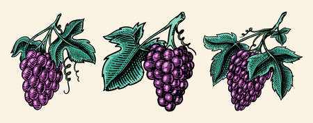 Bunch of grapes set. Berry leaves. Table fruit in vintage style. Hand drawn engraved outline sketch for banner, poster or label. Ingredient for wine and juice.
