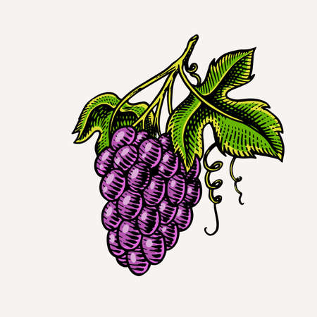 Bunch of grapes. Berry leaves. Table fruit in vintage style. Hand drawn engraved outline sketch for banner, poster or label. Ingredient for wine and juice. Ilustração