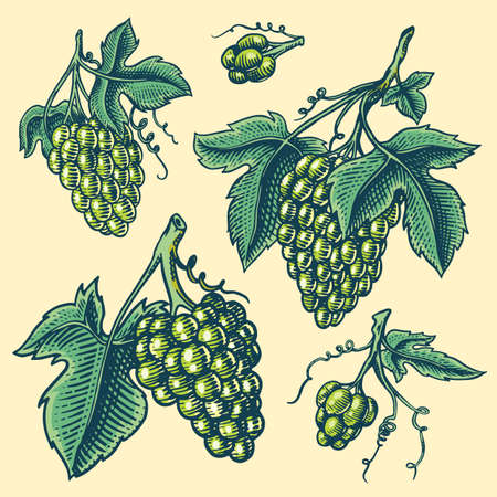 Bunch of grapes set. Berry leaves. Table fruit in vintage style. Hand drawn engraved outline sketch for banner, poster or label. Ingredient for wine and juice