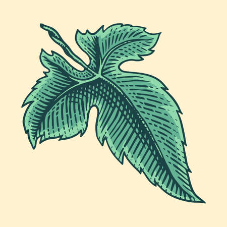Grape leaves. Vineyard Plant Collection in vintage style. Hand drawn engraved leaf sketch for banner, poster or label. Ingredient for wine and juice.