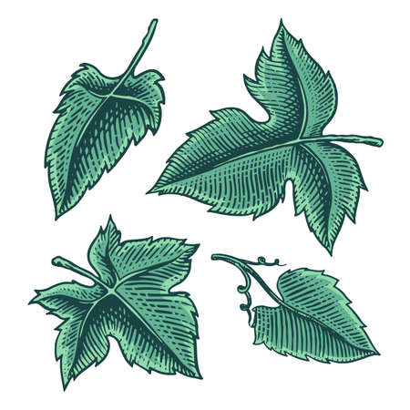 Set of grape leaves. Vineyard Plant Collection in vintage style. Hand drawn engraved outline sketch for banner, poster or label. Ingredient for wine and juice.