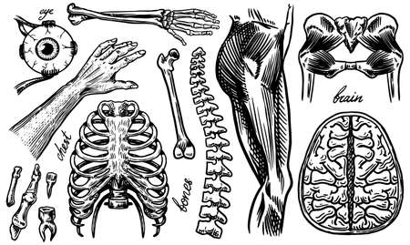 Anatomy of human bones and muscles. Organ systems. Body and Thorax or chest, ribs and pelvis, heart and brain, eye and spine. Leg and skeleton of the arm. Hand drawn engraved vintage illustration