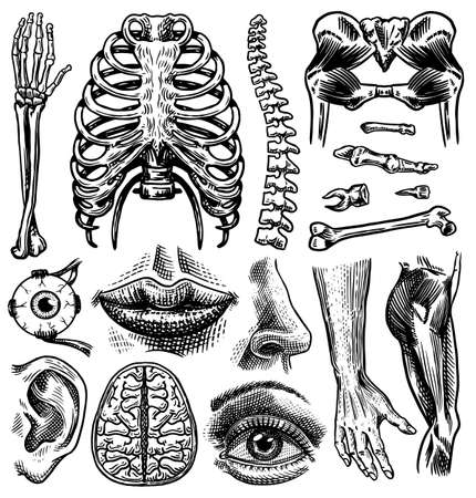 Anatomy of human bones and muscles set. Organ systems. Body and Thorax and pelvis, heart and brain, eye and spine, sensory cortex collection. Leg and arm. Hand drawn engraved biology illustration.