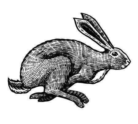 Wild hare or rabbit is jumping. Cute Bunny or coney runs away. Hand drawn engraved old sketch for T-shirt, tattoo or label or poster. Animal is running. Vector illustration. Ilustração