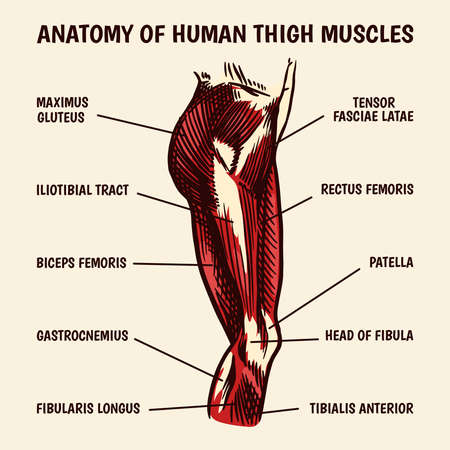 Anatomy of human thigh muscles in vintage style. Hand drawn engraved monochrome sketch. Vector illustration. Poster or banner for biology lesson. Description of the body part