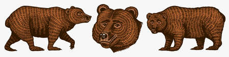 Grizzly bears. Hunting Brown wild animals in different poses. Hand drawn engraved old sketch for T-shirt, tattoo or label or poster. Side and front view. Vector illustration. Illustration
