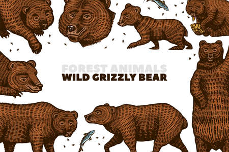 Grizzly bear background. Brown wild animals in different poses. Hand drawn engraved old sketch for T-shirt, cards or banner or poster. Side and front view. Vector illustration.