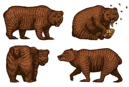 Grizzly bears. Hunting Brown wild animal eats honey and turns back. Side view. Hand drawn engraved old sketch for T-shirt, tattoo or label or poster. Side and front view. Vector illustration.