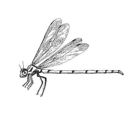 Odonata Insect bug beetle in vintage old hand drawn style engraved illustration woodcut.